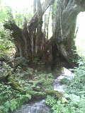 和池の大カツラ湧水