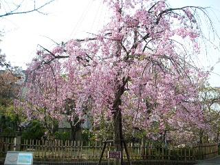 岡本桜守公園の枝垂れ桜